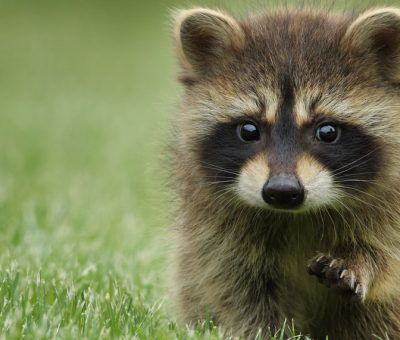 Raccoon Stealer Malware Scurries Past Microsoft Messaging Gateways