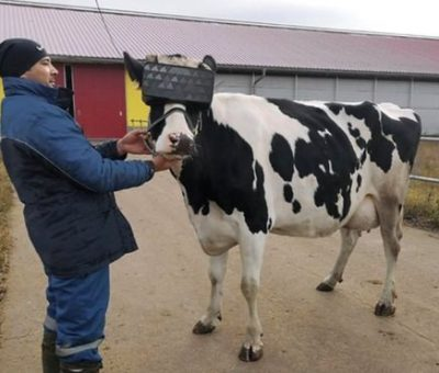 Russian cows get virtual reality headsets to reduce anxiety and improve their mood